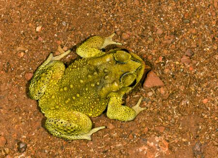 Common Toad on ground at Matheran, Maharashtra, India