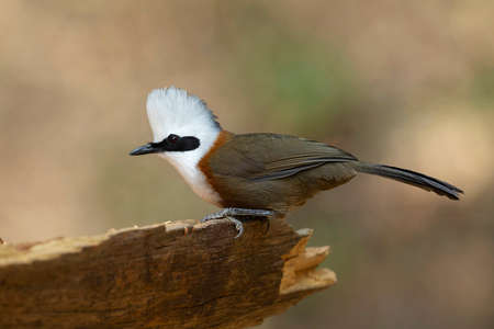 White crested Laughingthrush closeup, Garrulax leucolophus, Sattal, India