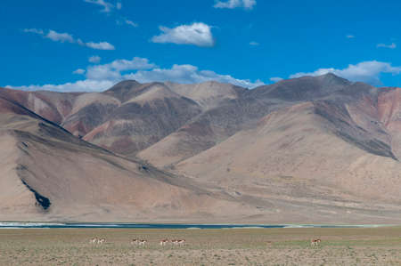 Kiangs, Equus kiang the largest of the wild asses herd near Tsokar lake, Ladakh, India