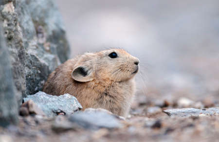 Pika is a small mountain-dwelling mammal, Tsokar Lake, Ladakh, India, India