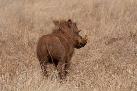 Warthog, Phacochoerus africanus at Kruger National Park, South Africa