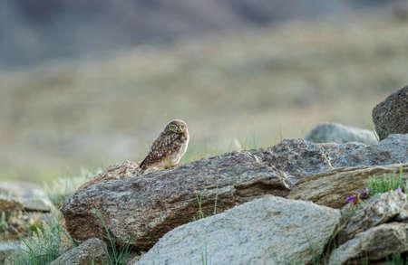 The little owl, Athene noctua, Tsokar Lake, Ladakh, India
