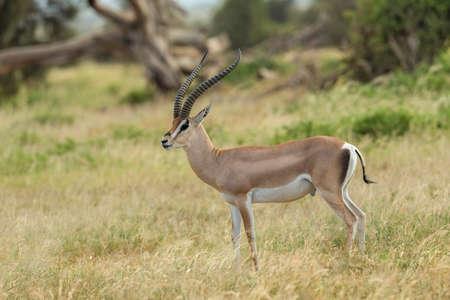 Grant's Gazelle, Nanger granti, syn. Gazella granti, Africa