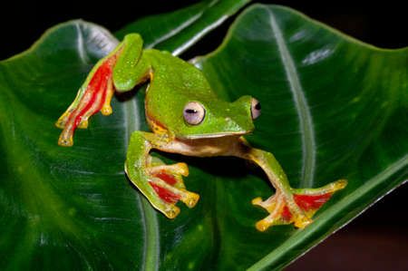Malabar Gliding frog on leaf, Rhacophorus malabaricus, Amboli, India