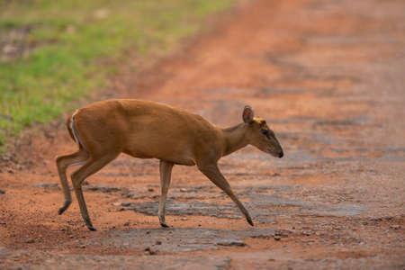 Barking Deer or Indian muntjac , Muntiacus muntjak,  Tadoba, Maharashtra, India,