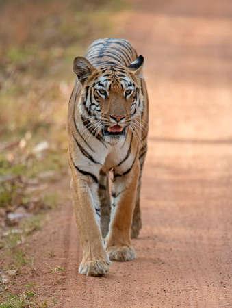 Tiger, Panthera tigris walking on road towards camera, India