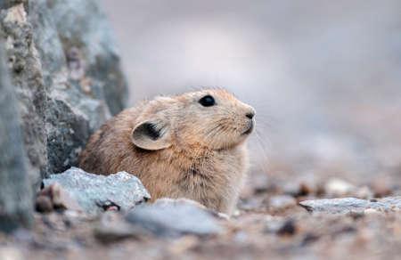 Pika is a small mountain-dwelling mammal, Tsokar Lake, Ladakh, India, India 免版税图像