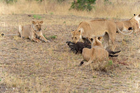 Lionesses with warthog Kill, Maasai Mara National Reserve, Kenya, Africa Stock Photo
