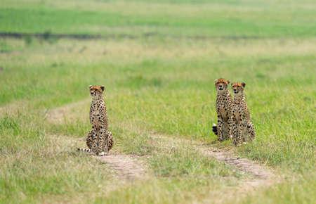 Cheetah Malaika with Cubs, Acinonyx jubatus, Maasai Mara National Reserve, Kenya, Africa 免版税图像