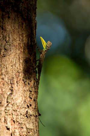 Male Dracko, genus of agamid lizards that are also known as flying lizards, flying dragons, Draco spilonotus, Dandeli, Karnataka, india