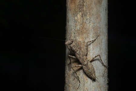 Bark Mantis common name given to various species of praying mantis, Mandla, Madhya Pradesh, India