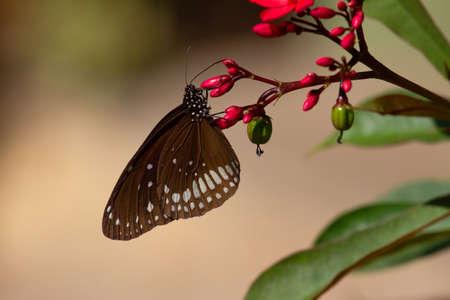 Common Crow butterfly on plant, Euploea core, Pune, Maharashtra, India