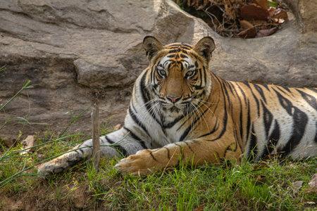 Kamli tigress sitting on grass, Sanjay Subri Tiger Reserve, Madhya Pradesh, India Imagens