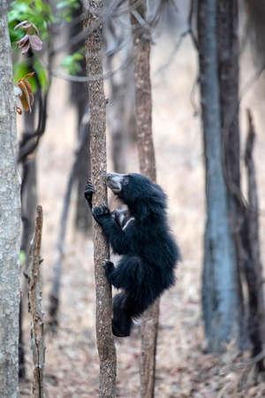 Cub of sloth bear climbing tree, Satpura TigerReserve, Madhya Pradesh, India 免版税图像