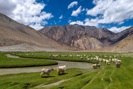 Sheeps grazing in Thangthang Platue, Ladakh, India