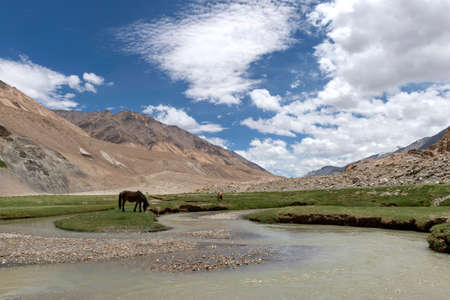 Ferals or horses in Changthang, Ladakh, India