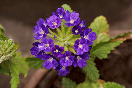 Blue Garden verbena, Verbena canadensis, Pune, Maharashtra, India 免版税图像