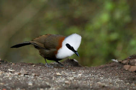 White Crested Laughing Thrush , Garrulax leucolophus, Sattal, Uttarakhand, India