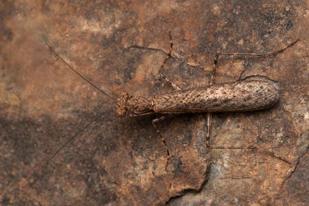 Dorsal of Indian Bark Mantis, Humbertila similis, Satara, Maharashtra, India