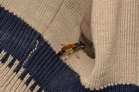 Mud Daubler Wasp, Sceliphron caementarium, Satara, Maharashtra, India 版權商用圖片