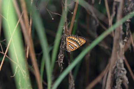 Spotted Joker Butterfly, Byblia ilithyia, Satara, Maharashtra, India 免版税图像