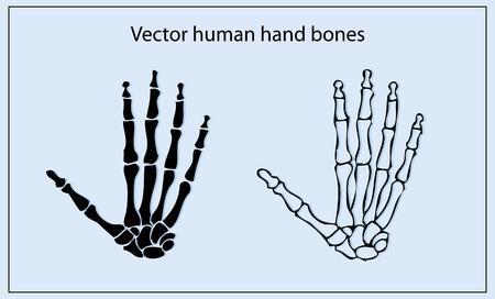 phalanx: ossa della mano umana  Vettoriali