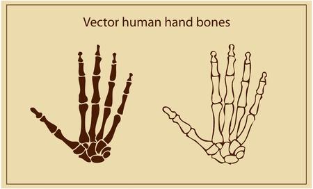 human hand bones  Stock Vector - 9631761