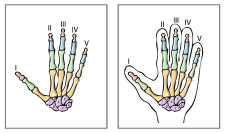 talus: human hand  Illustration