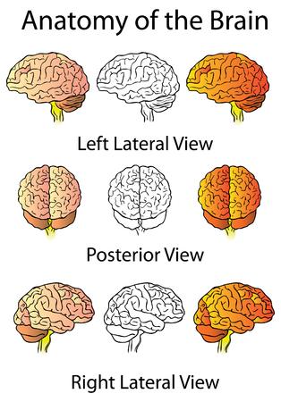 parietal: Medical Anatomy of the Brain Illustration, Human Anatomy