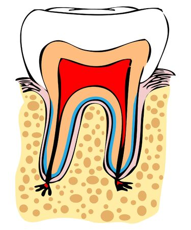 carious: Normal tooth vector medical illustration. Dental sing, scheme, emblem Stock Photo