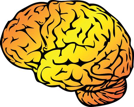 sulcus: Anatomy Vector Medical illustration, human brain Stock Photo
