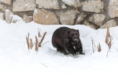 glutton: Wolverine at the zoo in winter