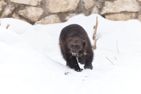 wolverine: Wolverine at the zoo in winter