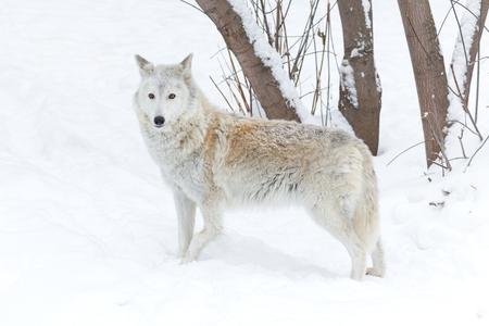 perceptive: lupo inverno sulla natura sul bianco della neve