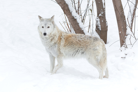 perceptive: wolf winter on nature on white snow Stock Photo