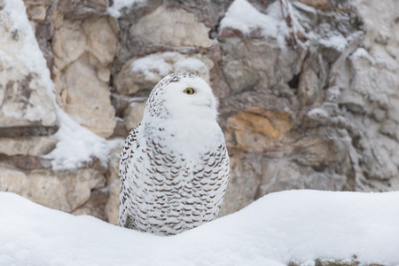 talons: White owl or snowy owl in the snow