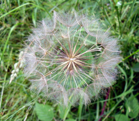 Close Up Picture of a Dandelion Wild Flower Gone to Seed Stock Photo - 61489241