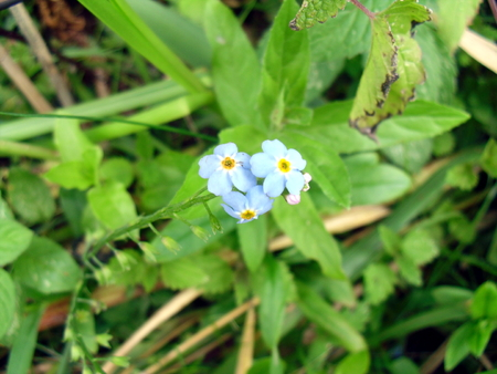 Forget-Me-Nots or Scorpion Grasses (Myosotis)