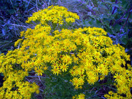 The Common Ragwort, Yellow British Wild Flower