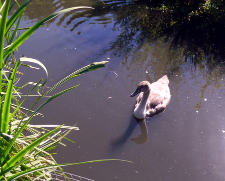 A Solitary Cygnet Pictured at Washington Wetlands Centre near Sunderland Stock Photo