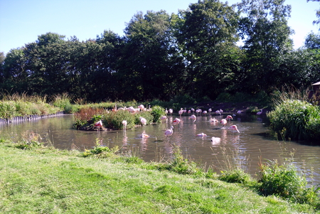 Pink Flamingos Pictured at Washington Wetlands Nature Reserve near Sunderland Stock Photo