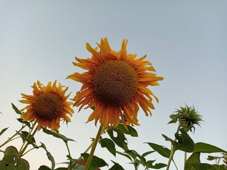 Sunflower and sky.
