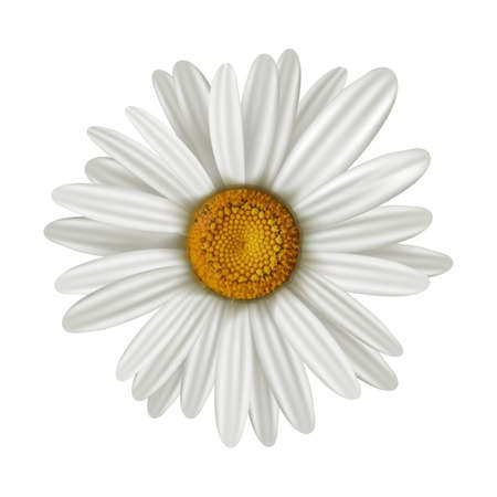 Vector camomile illustration, isolated on white background.