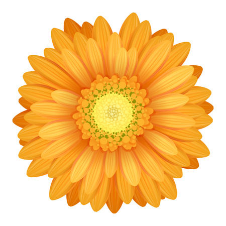 orange gerbera: Colorful gerbera flower head - yellow and orange colors.
