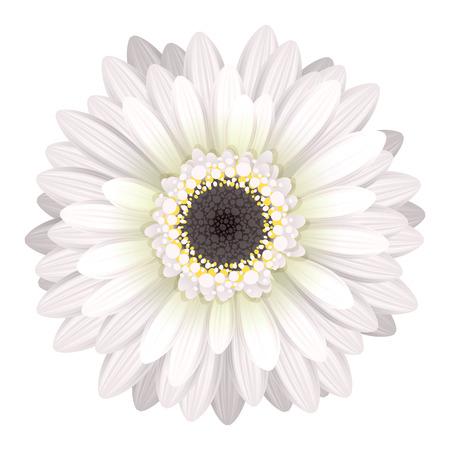 Gerbera: Colorful gerbera flower head - white and black colors.