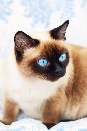 blue siamese cat: Siamese cat on a blue background