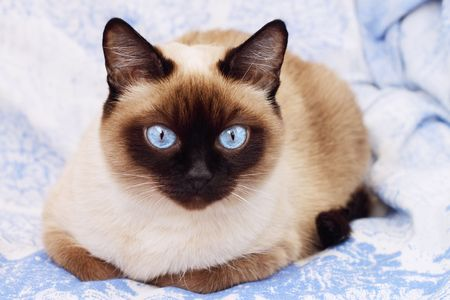 Siamese cat on a blue background Stock Photo - 6634747