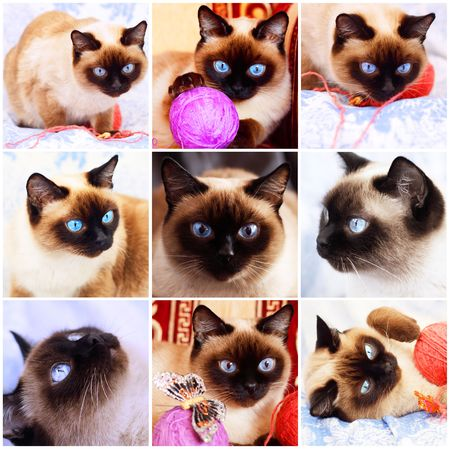 blue siamese: Siamese cat. Fragments of life