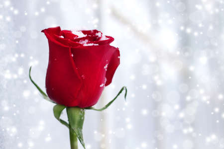 Red rose on a white background with snowflakes photo