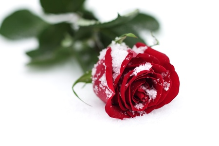 Red Rose in the snow photo